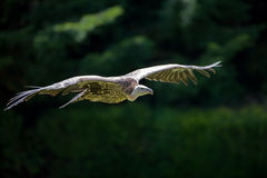Gliding vulture Royalty Free Stock Photos
