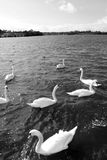 Gliding white swans. Swans gliding elegantly on the lakes edge in the shimmering sunlight in black and white Stock Image