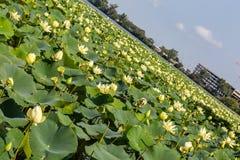 Glidning av stadssikt av Carter Lake Iowa med det Lotus fältet som täcker sjön arkivfoton