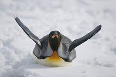 Glidning för konungpingvin till och med snö Arkivfoton