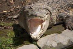 Glimlach van een krokodil stock afbeeldingen