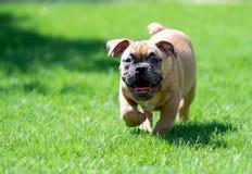 Glimlachend, blind buldogpuppy die en op het gras spelen lopen royalty-vrije stock foto's