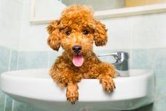 Glimlachend bruin poedelpuppy die klaar voor bad in bassin worden stock foto