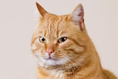 Glimlachend Kat met kwaad kijk royalty-vrije stock afbeelding