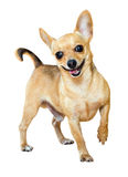 Glimlachend Mini Toy Terrier royalty-vrije stock fotografie