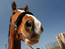 Glimlachend paard Royalty-vrije Stock Afbeeldingen