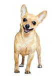 Glimlachend Russisch Toy Terrier royalty-vrije stock foto