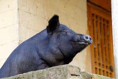 Glimlachend varken, Yunnan, China stock afbeelding