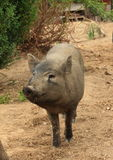 Glimlachend wild varken Royalty-vrije Stock Fotografie