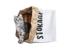 Glimlachend zilveren de kattenkatje die van de tortie Amerikaans Krul zich met achtereind in document opslag het achter piepen be royalty-vrije stock foto