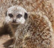 Glimlachende Baby Meerkat Royalty-vrije Stock Afbeeldingen