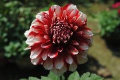 Glimlachende Dahila-bloem royalty-vrije stock foto