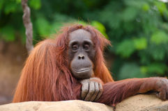 Glimlachende de Aapclose-up van de Orangoetanaap Royalty-vrije Stock Afbeelding