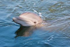 Glimlachende dolfijn Stock Foto