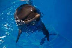 Glimlachende Dolfijn de dolfijnen zwemmen Royalty-vrije Stock Foto
