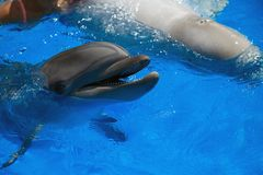 Glimlachende Dolfijn de dolfijnen zwemmen Royalty-vrije Stock Foto's