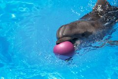 Glimlachende Dolfijn De dolfijnen zwemmen in de pool Stock Afbeelding