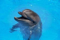 Glimlachende Dolfijn De dolfijnen zwemmen in de pool Stock Afbeeldingen