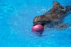 Glimlachende Dolfijn De dolfijnen zwemmen in de pool Stock Foto's