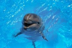Glimlachende Dolfijn De dolfijnen zwemmen in de pool Royalty-vrije Stock Foto's