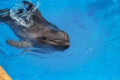Glimlachende Dolfijn De dolfijnen zwemmen in de pool Royalty-vrije Stock Fotografie
