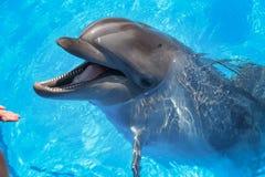 Glimlachende Dolfijn De dolfijnen zwemmen in de pool Royalty-vrije Stock Afbeeldingen