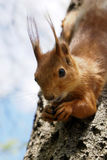 Glimlachende eekhoorn royalty-vrije stock afbeeldingen