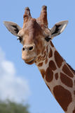 Glimlachende Giraf Stock Afbeelding