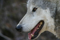 Glimlachende Grijze Wolf Royalty-vrije Stock Afbeeldingen