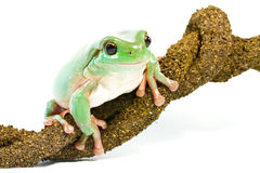 Glimlachende groene boomkikker Royalty-vrije Stock Afbeeldingen