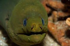 Glimlachende Groene Paling Moray Stock Foto's