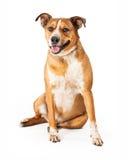 Glimlachende Grote Rassenhond Royalty-vrije Stock Fotografie