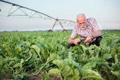 Glimlachende hogere agronoom of landbouwer die suikerbiet of sojaboonbladeren met vergrootglas onderzoeken stock afbeelding