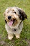 Glimlachende hond Stock Foto
