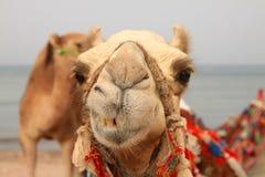 Glimlachende kameel Royalty-vrije Stock Foto