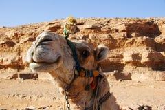 Glimlachende kameel, Egypte Royalty-vrije Stock Foto's