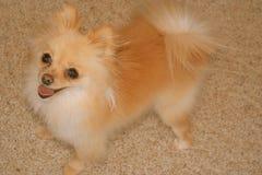 Glimlachende leuke hond Stock Foto