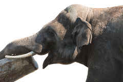 Glimlachende olifant Stock Afbeeldingen