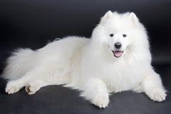 Glimlachende Samoyed-hond Royalty-vrije Stock Foto