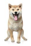 Glimlachende Shiba inuhond Stock Afbeelding