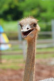Glimlachende Struisvogel Royalty-vrije Stock Fotografie
