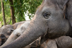Glimlachende tuskless olifant Royalty-vrije Stock Afbeeldingen
