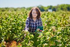 Glimlachende vrouw die rijpe frambozen verzamelen Royalty-vrije Stock Fotografie