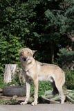 Glimlachende wolf Royalty-vrije Stock Fotografie