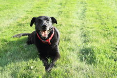 Glimlachende zwarte hond Royalty-vrije Stock Fotografie