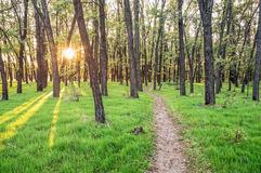Glimmers of the sun's rays in the trees, a path in the woods Stock Photos