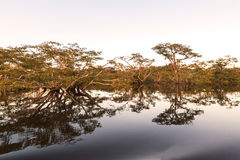 Water Trees, Cuyabeno National Park Stock Photography