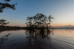 Palm Water Trees, Cuyabeno Wildlife Reserve, Ecuador royalty free stock photography