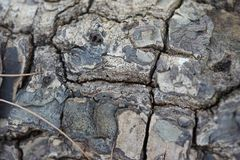 Dry skin tree Royalty Free Stock Images