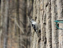 A Glimpse of a Woodpecker. This photo was taken in Maryland, next to a bird feeder (which is the green thing that you see on the right royalty free stock photo
